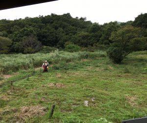 犬ばさり草刈り 草刈り終了。隣の草地との違い!