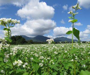 8月31日 蕎麦の花と蒜山三座