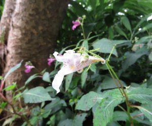 9/11 白花ツリフネソウ ツリフネソウはほとんどが赤花ですが条件の悪い乾燥地などでたまに白花があります。