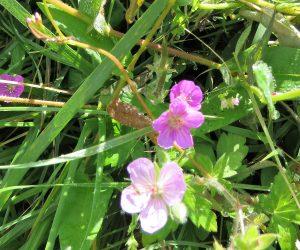 9/13 ピンクのゲンノショウコ 白花、赤花のゲンノショウコももちろんあります。鏡ヶ成にて