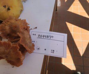 キノコ観察会(オオキツネタケ)
