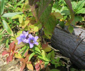 10/9 リンドウ  中蒜山8合目付近、尾根筋の日当りの良い所に沢山咲いていまいた。