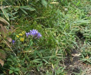 中蒜山登山 リンドウとアキノキリンソウ 日当りの良い所にはリンドウが沢山咲いていました
