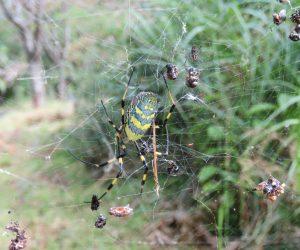 9/24 ジョロウグモ  小さなオスが右斜め上に居ます。 同じ巣に居て交尾の機会をうかがっていますがきずかれると餌にされてしまいます。