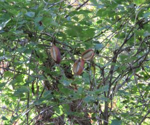 10/4 ミツバアケビ 五葉アケビの方が10日くらい早く熟れました