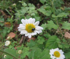 10/7 リュウノウギク 蒜山最後の山野草の一つ、この花が終わると蒜山に冬がやって来ます。