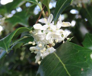 10/11 ヒイラギの花 優しい香りはキンモクセイより品がある