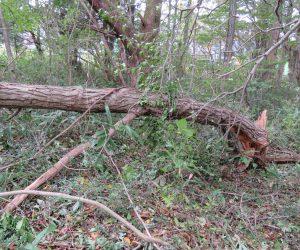 10/24  台風で倒れたクリの木
