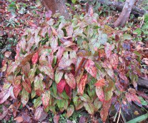 11/7 常盤イカリ草  蒜山のイカリ草は常盤なんですが霜が直接当たるところでは紅葉して葉がほとんどなくなってしまいます。
