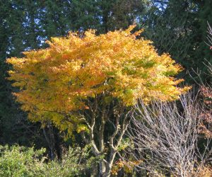 11/10  イタヤカエデの黄葉 今年はかなり赤く成りました。