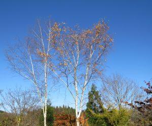 11/10  白樺の黄葉 台風の北風で葉がほとんどなくなってしまいました。