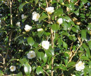 12/2 ワビスケ 植栽14年初めて屋外で咲きました。