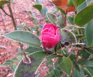 12/4 山茶花 蒜山では山茶花は無理と言われていたのですが最近はあちこちで見かけます。