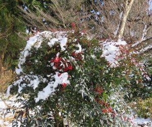 12/6 南天に雪