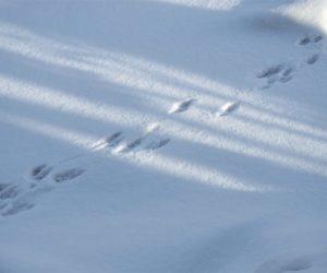 12/17 ネズミとイタチの足跡  ネズミの足跡が飛んでいるのはイタチに追われたせいかも
