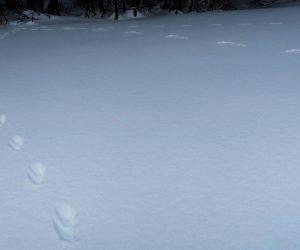 ウサギとテンの足跡 左がテン、上がウサギ