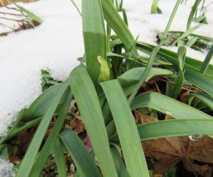 12/23 今年も水仙の蕾が出ました。日本水仙ではないので3月頃咲きます。
