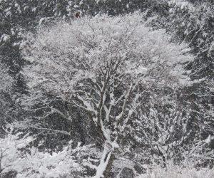 1/10 イタヤカエデの雪   風が無く静かに積ったので枯れ木にもたっぷり積りました