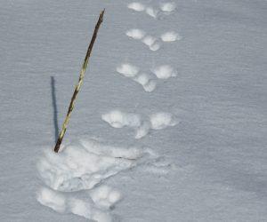 2/14 ウサギの食痕 ネムの若い枝をかじっています