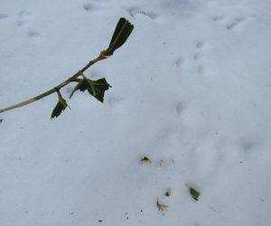 2/20 ウサギの食痕 ササの葉を食べています