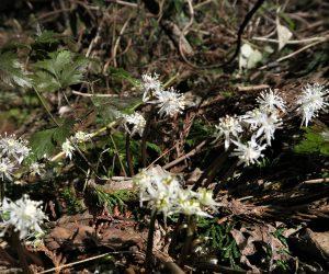 3/7  セリバオウレン  杉の植林地の端には群落を作っています