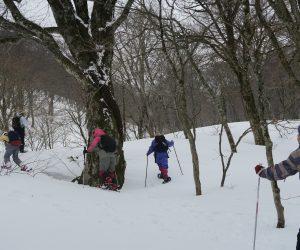 3/11 スノーシュウハイキング 胸高周囲3mのブナの巨木
