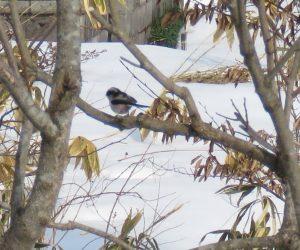 2/26 コガラ  頭の白が目立ちます