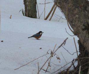 2/26 ヤマガラ  雪面に落ちているカラマツの種を食べています。