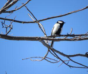 2/27 四十雀(シジュウカラ)もうツガイ行動、バードハウスは雪の有るときからチェックしていますがこれからは2羽で本格的に家探しと他のツガイとの争奪戦を行います、山雀も四十雀もスズメも好みが似ているようです。 スズメが多い所では四十雀用にバードハウスの入り口を30Φ㎜以下にします。