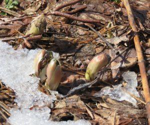 2/27 福寿草の蕾が雪の下から見えてきました。蒜山は火山なので土が酸性、従って福寿層やセツブンソウは自生していません。