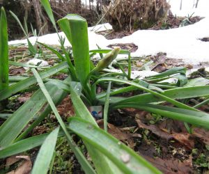 蒜山日記3月上旬 雪が消えかかったら雪が積もる前と同じ姿の水仙が出てきました