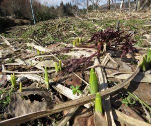 3/2 雪が消えると水仙が芽を出します