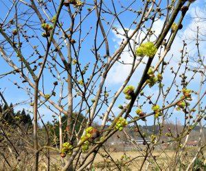 3/15 ダンコウバイ マンサクとダンコウバイを蒜山では「谷急ぎ」と言い春一番に咲きます