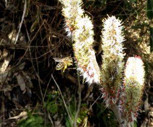 3/23 ネコヤナギの花粉を集めに来た日本ミツバチ 花粉は女王や幼虫の餌ローヤルゼリーの原料 気温が10度位になると蜜や花粉を集めに巣の外へ出てきます。