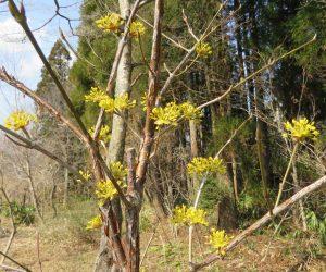 3/27 サンシュノ花  大陸からの渡来植物梅ほどには広がっていませんね、