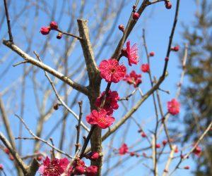 3/28 紅梅   三分咲