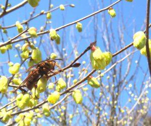 3/28 日向ミズキに来た黄スズメバチ  冬を乗り越えた黄スズメバチの女王。 スズメバチの成虫の餌は流動食、蜜を飲んで体力をつけこれからしばらくは一人で巣を作り子育てをします。