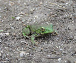 4/4 シュレーゲルアオガエル  まだ冬眠中 、アマガエルは冬眠中(土や落ち葉の下)も周囲の色と同じ色に変身