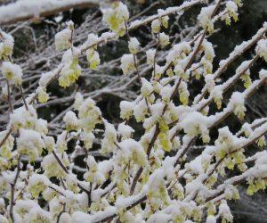 4/8 レンギョウに雪   昨夜の雪がうっすら積もり一面雪化粧