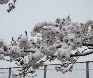 4/8 雪の衣をかぶる桜