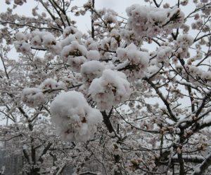 4/8 桜に積る雪