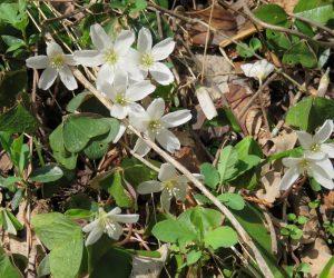 4/10 ミヤマカタバミ  茅部神社には杉林の下にミヤマカタバミやキクザキイチゲが咲いています、 足元の花もチョット気を配ってください