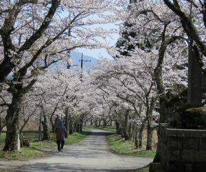 4/10 茅部神社参道の桜  桜のトンネルが石の大鳥居まで続いています
