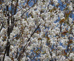 4/12  桜(西洋実桜) 春の雪にも負けず元気 。実桜の方が染井吉野より少し開花時期が早い。