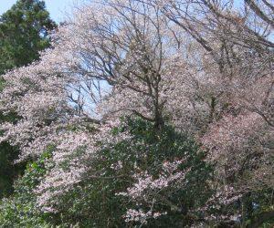4/13  黒岩の山桜 手前に若木(かなりの大木ですが)が有って開花時期が遅くかなり邪魔になっています。