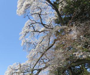 4/13  岩桜  川上小学校の下の崖にしがみつくように花を咲かせています