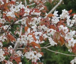 4/15  山桜 山桜の花は皆白花ですが葉が緑の木は遠目には白花に、葉が赤い木は遠目には赤花に見えます。