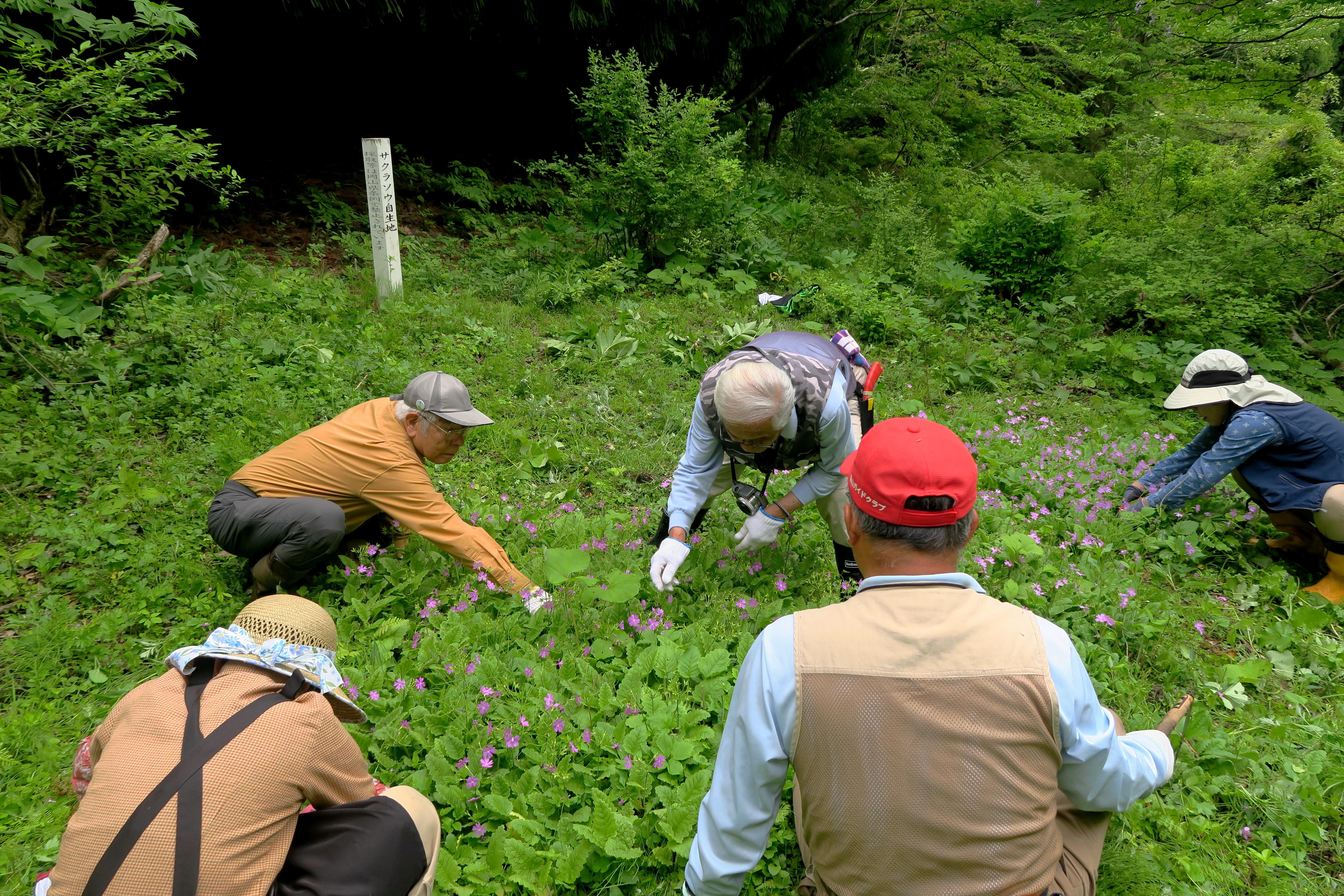5/16 サクラソウ保護活動 フキなどを除去    5/16 周囲の木を切り倒し日当りが良く成れば自力でドンドン増えて行きます。