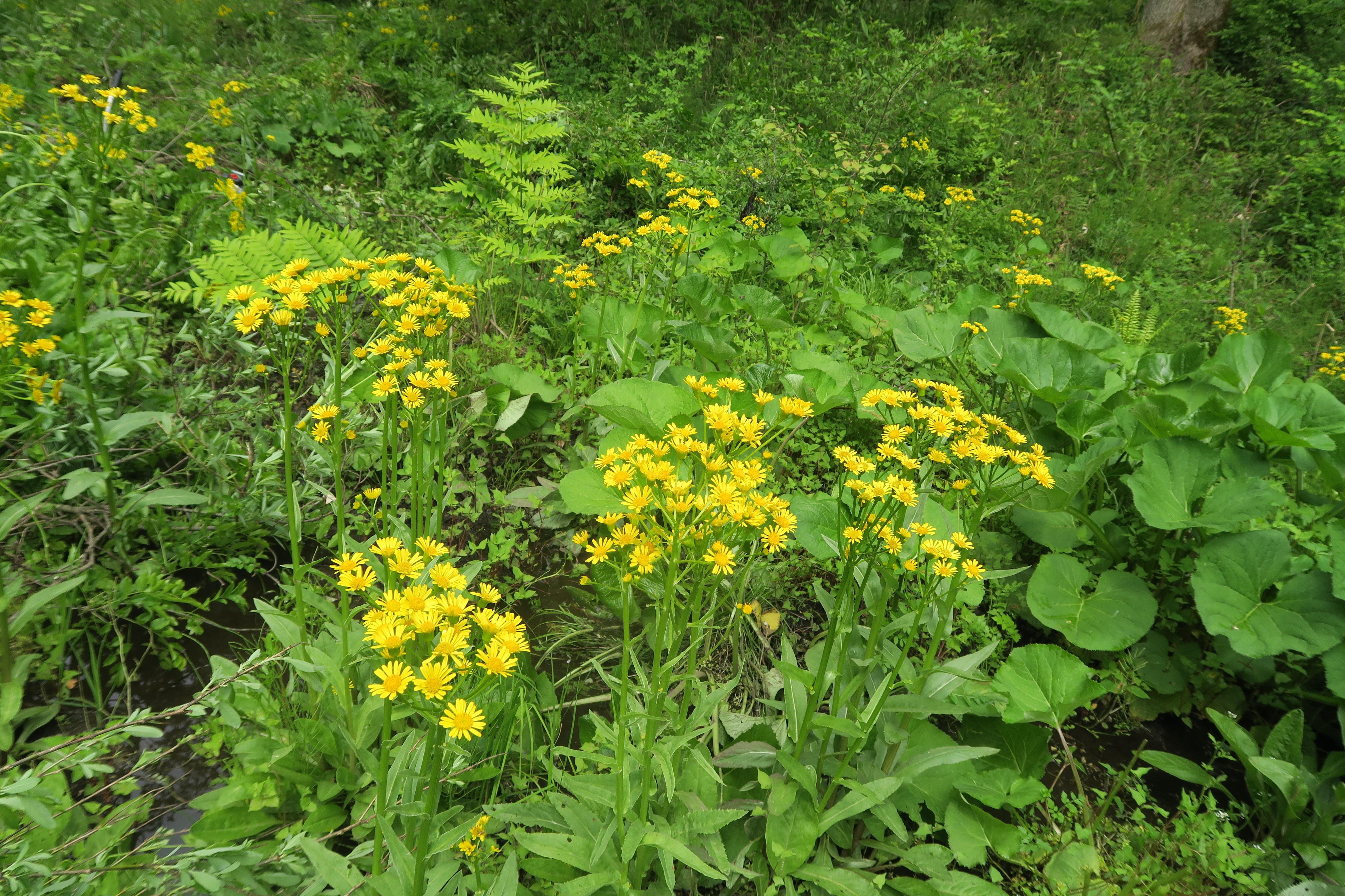 5/16 サワオグルマ   サクラソウの近くの湿地の中に生えています