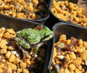 4/21 アマガエル  迷彩色のアマガエル、冬眠から覚め大分緑になってきました